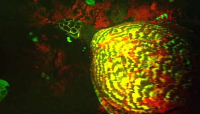 Exclusive Video: First 'Glowing' Sea Turtle Found